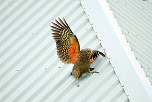 Juvenile Kea (Nestor notabilis) sliding down a wet roof, Arthur's Pass, New Zealand, March, Vulnerable species - Andrew Walmsley
