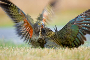 Kea (Nestor notabilis) juvenile fighting an adult over a road killed hare, Arthur's Pass, New Zealand, March, Vulnerable species  -  Andrew Walmsley
