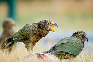 Juvenile Kea (Nestor notabilis) calling, perched on a road-killed hare, Arthur's Pass, New Zealand, March, Vulnerable species - Andrew Walmsley