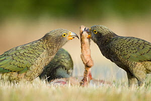 Kea (Nestor notabilis) group of juvenile birds feeding on a road-killed hare, Arthur's Pass, New Zealand, March, Vulnerable species - Andrew Walmsley