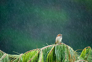 Male House sparrow (Passer domesticus) peched on a fallen Fir tree in heavy rain, Christchurch, New Zealand, March - Andrew Walmsley