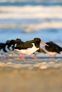 South Island pied oystercatcher (Haematopus finschi) walking on sandy beach, Christchurch, New Zealand, May  -  Andrew Walmsley