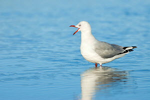 Red Billed Gull (Chroicocephalus scopulinus) standing in shallow water calling, Christchurch, New Zealand, May  -  Andrew Walmsley