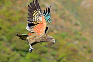 Juvenile Kea (Nestor notabilis) in flight, Arthur's Pass, New Zealand, June, Vulnerable species - Andrew Walmsley
