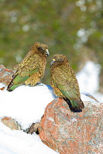 Two juvenile Keas (Nestor notabilis) in snow, Arthur's Pass, New Zealand, July - Andrew Walmsley