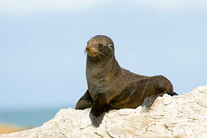 New Zealand fur seal (Arctocephalus forsteri) on rock, Kaikoura, New Zealand, January  -  Andrew Walmsley