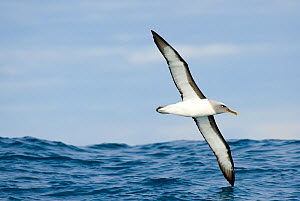 Buller's albatross / mollymawk (Thalassarche bulleri) in flight, Kaikoura, New Zealand, July - Andrew Walmsley