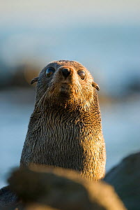 New Zealand fur seal (Arctocephalus forsteri) portrait, Kaikoura, New Zealand, July  -  Andrew Walmsley