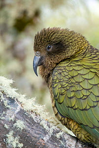 Kea (Nestor notabilis) on beech tree branch, Arthur's Pass, New Zealand, July, Vulnerable species - Andrew Walmsley
