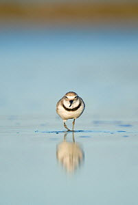 Wrybill (Anarhynchus frontalis) in shallow water, Banks Peninsula, New Zealand, October - Andrew Walmsley