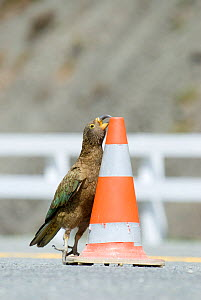 Juvenile Kea (Nestor notabilis) playing with a traffic cone, Arthur's Pass, New Zealand, October, Vulnerable species - Andrew Walmsley