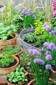Assortment of kitchen garden herbs in pots, chives, marjoram, parsley, basil, thyme, Norfolk, UK, June.  -  Gary K. Smith