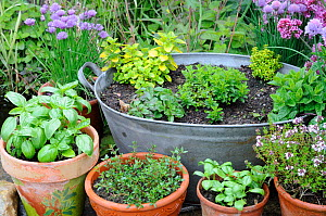 Assortment of kitchen garden herbs in pots, chives, marjoram, parsley, basil, thyme, Norfolk, UK, June  -  Gary K. Smith
