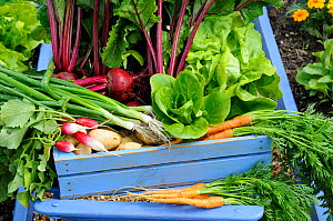 Early summer harvest of potatoes, spring onions, beetroot, carrots, radishes and lettuce, UK, June. - Gary K. Smith