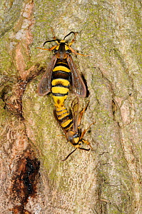 Hornet moth (Sesia apiformis) pair mating, Norfolk, UK, July. - Gary K. Smith