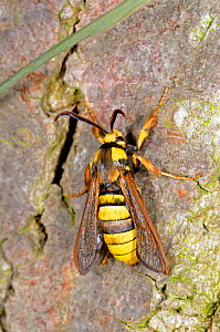 Hornet moth (Sesia apiformis) male crawling up Poplar trunk, Norfolk, UK, July. - Gary K. Smith