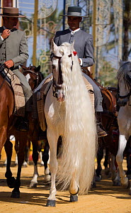 A traditionally dressed Andalusian gentleman parades with his long maned Andalusian stallion (Pura Raza Espanola) during the Feria Del Caballo (Horse Fair), Jerez De La Frontera, Andalucia, Spain, May...  -  Kristel Richard