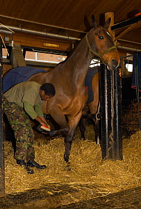 A soldier, from the King's Troop, Royal Horse Artillery, grooms an Irish Draft horse at the St John's Woods Barracks, London, England, UK. 2009  -  Kristel Richard