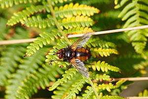 Common rufous paratie fly (Tachina fera) at rest on bracken frond, Wales, UK - Dave Bevan