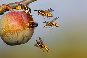 Common wasps (Vespula vulgaris) flying to and feeding on greengage fruit, UK - Dave Bevan
