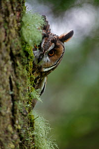 Long eared owl (Asio otus) peering round trunk of larch tree, Wales, UK, captive  -  Dave Bevan