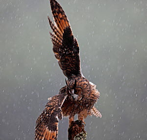 Long eared owl (Asio otus) perched on post, shaking wings in rain, Wales, UK, captive  -  Dave Bevan