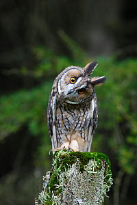 Long eared owl (Asio otus) perched on fence post, head cocked on one side, Wales, UK, captive  -  Dave Bevan