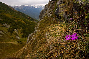 Least primrose (Primula minima) flowers growing on steep slope, Western Tatras, Carpathian Mountains, Slovakia, June 2009  -  Wild Wonders of Europe / D'Amicis