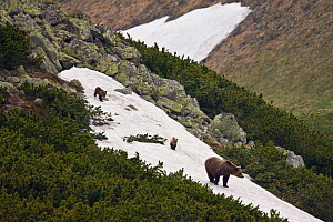 Female European brown bear (Ursus arctos) with two yearling cubs walking on snow field on mountain ridge, Western Tatras, Carpathian Mountains, Slovakia, June 2009  -  Wild Wonders of Europe / D'Amicis