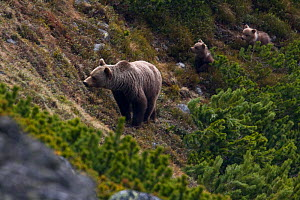 Female European brown bear (Ursus arctos) with two yearling cubs emerging from Dwarf pines (Pinus mugo) Western Tatras, Carpathian Mountains, Slovakia, June 2009  -  Wild Wonders of Europe / D'Amicis