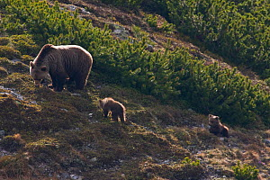Female European brown bear (Ursus arctos) with two yearling cubs feeding amongst Dwarf pines (Pinus mugo) Western Tatras, Carpathian Mountains, Slovakia, June 2009  -  Wild Wonders of Europe / D'Amicis