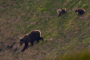 Female European brown bear (Ursus arctos) with two yearling cubs walking down steep slope, Western Tatras, Carpathian Mountains, Slovakia, June 2009  -  Wild Wonders of Europe / D'Amicis