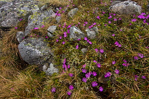 Least primrose (Primula minima) flowers, Western Tatras, Carpathian Mountains, Slovakia, June 2009  -  Wild Wonders of Europe / D'Amicis
