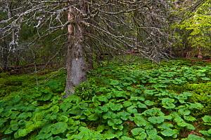 Old Norway spruce (Picea abies) tree with Butterbur (Petasites albus) growing beneath it, Western Tatras, Carpathian Mountains, Slovakia, June 2009  -  Wild Wonders of Europe / D'Amicis