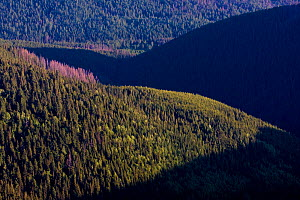 Old mountain forest with Norway spruce (Picea abies) and Mountain ash / Rowan (Sorbus aucuparia) trees, some areas with trees killed by Bark beetles (Scolytidae) Western Tatras, Carpathian Mountains,...  -  Wild Wonders of Europe / D'Amicis