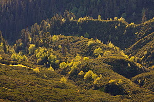 Border between mountain forest with Norway spruce (Picea abies) Mountain ash / Rowan (Sorbus aucuparia) and Arolla pine (Pinus cembra) trees and the Dwarf mountain pine (Pinus mugo) zone, Western Tatr...  -  Wild Wonders of Europe / D'Amicis