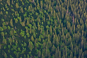 Aerial view the transition from mountain forest with Norway spruce (Picea abies) and Mountain ash / Rowan (Sorbus aucuparia) trees and the Dwarf mountain pine (Pinus mugo) zone, Western Tatras, Carpat...  -  Wild Wonders of Europe / D'Amicis