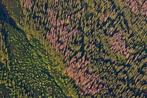 Aerial view of border between spruce forest and Dwarf mountain pine (Pinus mugo) zones showing several trees killed by Bark beetle (Scolytidae) Western Tatras, Carpathian Mountains, Slovakia, June 200... - Wild Wonders of Europe / D'Amicis