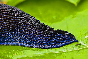 Carpathian blue slug (Bielzia coerulans) close-up of the tail, endemic to the Carpathian mountains, Western Tatras, Carpathian Mountains, Slovakia, June 2009  -  Wild Wonders of Europe / D'Amicis