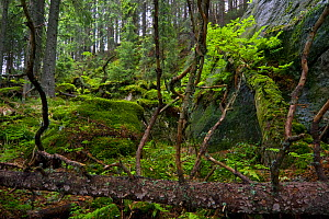 Fallen trees and mosses in the undergrowth of a pristine forest, Kouprova valley, Western Tatras, Carpathian Mountains, Slovakia, June 2009  -  Wild Wonders of Europe / D'Amicis