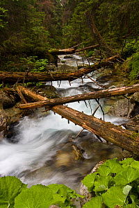 Mountain stream with fallen trees crossing pristine forest, Kouprova valley, Western Tatras, Carpathian Mountains, Slovakia, June 2009  -  Wild Wonders of Europe / D'Amicis