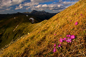 Least primroses (Primula minima) flowering on slope, Liptovske kopi, Western Tatras, Carpathian Mountains, Slovakia, June 2009  -  Wild Wonders of Europe / D'Amicis