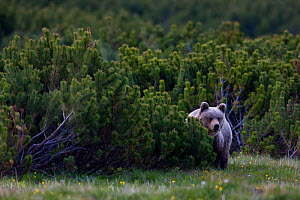 European brown bear (Ursus arctos) solitary female peering from behind Dwarf mountain pines (Pinus mugo) in mountain meadow, Western Tatras, Carpathian Mountains, Slovakia, June 2009  -  Wild Wonders of Europe / D'Amicis