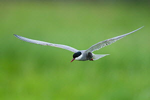 Whiskered tern (Chlidonias hybridus) in flight, Prypiat River, Belarus, June 2009  -  Wild Wonders of Europe / Máté