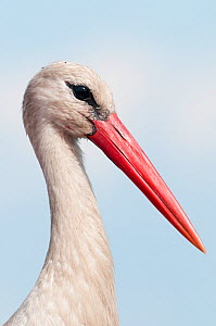 White stork (Ciconia ciconia) portrait, Prypiat area, Turov, Belarus, June 2009  -  Wild Wonders of Europe / Máté