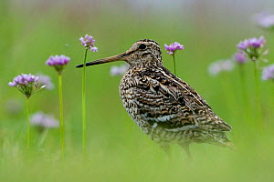 Great snipe (Gallinago media) near the Prypiat river, Belarus, June 2009  -  Wild Wonders of Europe / Máté