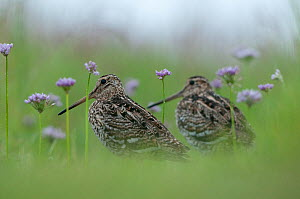 Two Great snipe (Gallinago media) near the Prypiat river, Belarus, June 2009  -  Wild Wonders of Europe / Máté