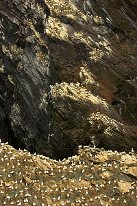 Northern gannet (Morus bassanus) colony, Hermaness, Shetland Isles, Scotland, July 2007 - Wild Wonders of Europe / Green