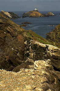 Northern gannet (Morus bassanus) colony on coastal cliffs, Hermaness, Shetland Isles, Scotland, July 2007 - Wild Wonders of Europe / Green