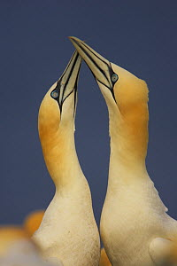 Northern gannets (Morus bassanus) displaying, Saltee Islands, Ireland, May 2008 - Wild Wonders of Europe / Green